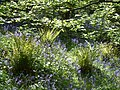 Bluebells and ferns - panoramio.jpg