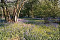 Bluebells in Skellingthorpe Old Wood - geograph.org.uk - 661472.jpg