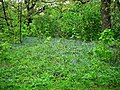 Bluebells near Pollok House - geograph.org.uk - 1292525.jpg