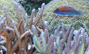 Bluehead Fairy Wrasse – Cirrhilabrus cyanopleura