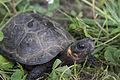Bog turtle (18744083731).jpg