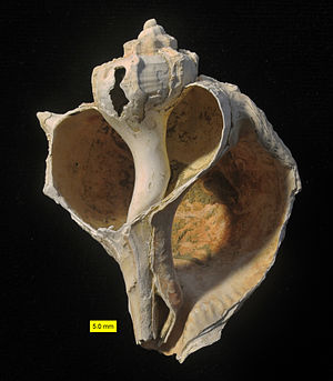 Bolinus brandaris - Bolinus brandaris from the Pliocene of Cyprus showing interior.