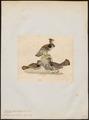 Bonasa umbellus - 1820-1863 - Print - Iconographia Zoologica - Special Collections University of Amsterdam - UBA01 IZ17100389.tif