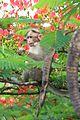 Bonnet macaque eating Delonix regia flowers (22670105188).jpg