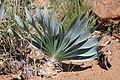 Boophane disticha (Amaryllidaceae) (26458138633).jpg