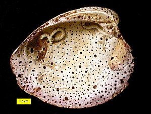 Exoskeleton - Borings in exoskeletons can provide evidence of animal behavior. In this case, boring sponges attacked this hard clam shell after the death of the clam, producing the trace fossil Entobia.