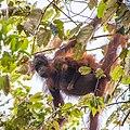 Bornean Orangutan (14157429974).jpg