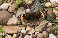 Borneo butterfly with eye camouflage (27999914193).jpg