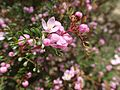Boronia microphylla leaves and flowers (2).jpg