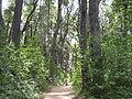 Bosque de Coihues.jpg