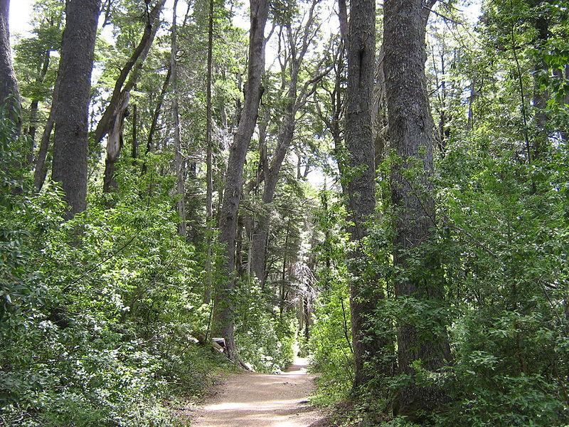 File:Bosque de Coihues.jpg