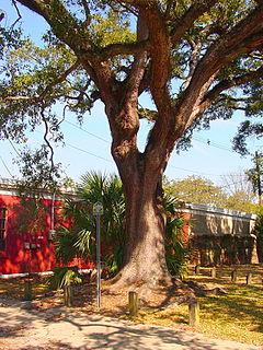 Boyington Oak Historic oak tree in Mobile, Alabama