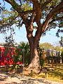 Boyington Oak in Mobile.jpg