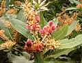 Brabejum stellatifolium - Cape Town - young nuts 4.JPG