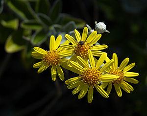 Brachyglottis - Brachyglottis 'Sunshine'