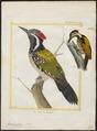 Brachypternus aurantius - 1700-1880 - Print - Iconographia Zoologica - Special Collections University of Amsterdam - UBA01 IZ18700335.tif