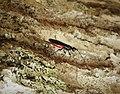 Braconid Wasp - Atanycolus species (24047714298).jpg
