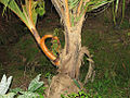 Branched coconut trunk (1104738736).jpg