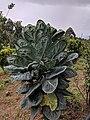 Brassica oleracea 26.jpg