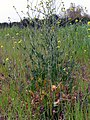 Brassica oleracea var. oleracea Habitus 2010-4-11 CampodeCalatrava.jpg