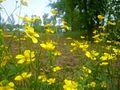 Brassicaflr.jpg