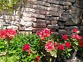 Brick wall and Pelargonium-Мушкатли 02.jpg