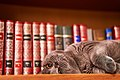 British Shorthair on a bookshelf, 11-21-2019.jpg