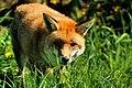 British Wildlife Centre Wildlife (16623691854).jpg