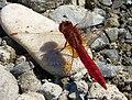 Broad Scarlet. Crocothemis erythraea male (32969000906).jpg
