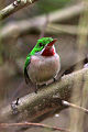 Broad billed tody 2.jpg