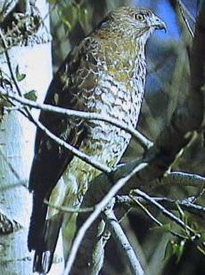 Broad-winged hawk - Broad-winged hawk at Isle Royale National Park