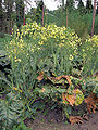 Broccoli bloeiende plant.jpg