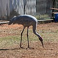 Brolga at Boulia Wildlife Haven Herbert St Boulia Queensland P1030243.jpg