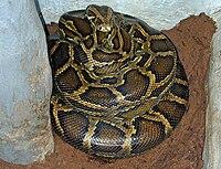 Brooding female Python molurus bivittatus.jpg