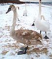 Brosen swan young.jpg