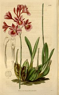 Broughtonia sanguinea (1836)