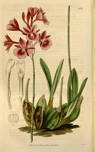 Broughtonia - Broughtonia sanguinea 1836 illustration