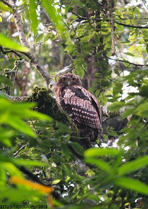 Brown fish owl - A juvenile at Sim's Park, Coonoor, Tamil Nadu