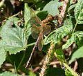 Brown Hawker . female. Aeshna grandis - Flickr - gailhampshire.jpg
