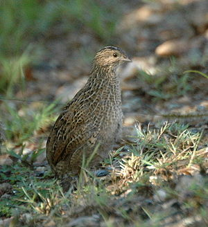 Brown quail - Female