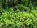 Bryophyllum pinnatum by Dr. Raju Kasambe DSCN7597 (2).jpg