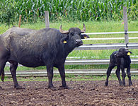 Bubalus bubalis mother cow with baby.JPG