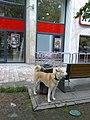 Bucuresti, Romania. Un caine frumos (din rasa Hachiko -Akita Inu), astepetandu-si stapanul sa iasa din magazin.jpg