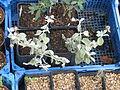 Buddleja marrubifolia & Anagyris foetidus (15428469177).jpg