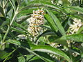 Buddleja paniculata from Sikkim (21576909675).jpg