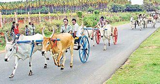 Theni district - Bullock Cart Race