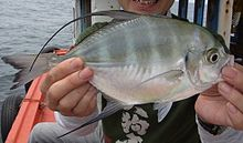 Bumpnose trevally exmouth.jpg