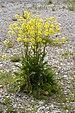Bunias orientalis - Photo (c) Schurdl, algunos derechos reservados (CC BY-SA)