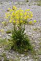 Bunias orientalis 050524 04.jpg
