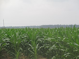 East Carroll Parish, Louisiana - Image: Burgeoning corn crop, East Carroll Parish, LA IMG 7378